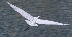 Egret in Flight (rycheme) Tags: white bird flight wing egret