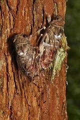 Cicadas (Platylomia sp., Cicadidae) (John Horstman (itchydogimages, SINOBUG)) Tags: insect macro china yunnan itchydogimages sinobug cicada bug hemiptera cicadidae brown 2 entomology