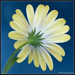 Back of flower (mmoborg) Tags: flowers sweden sverige blommor mmoborg mariamoborg