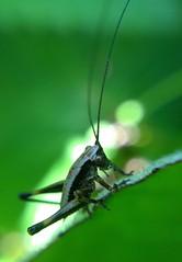 "Dark bush cricket... • <a style=""font-size:0.8em;"" href=""http://www.flickr.com/photos/57024565@N00/8939673218/"" target=""_blank"">View on Flickr</a>"