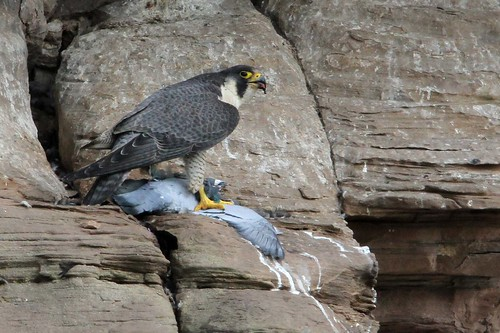 Peregrine female  preparing lunch PART 1    3.6.2013 (1)