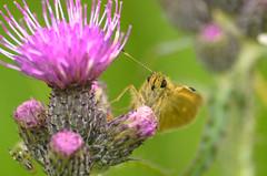 Moth (sillie_R) Tags: thistle moth zouweboezem