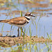Killdeer_65K1530untitledWeb copy