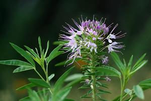 Photo - Rocky Mountain Bee-plant