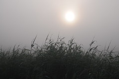 Nebel am Ufer der Treene; Sderhft, Nordfriesland (15) (Chironius) Tags: morning grass fog sunrise germany deutschland dawn nebel alba erba amanecer alemania grasses gras dmmerung ufer landschaft sonnenaufgang allemagne morgen niebla brouillard germania ochtend schleswigholstein herbe matin gegenlicht  morgens zonsopgang mattina aube grser ogie pomie morgendmmerung morgengrauen  gramines nordfriesland niemcy dageraad   poales    pomienie commeliniden ssgrasartige szlezwigholsztyn sderhft