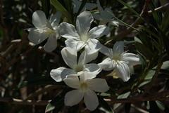 Oleander (Graham Buffton) Tags: flowers arizona white flower green closeup sonora garden desert pentax tucson sonoran oleander k10d pentaxk10d mygearandme