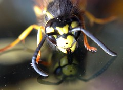 """Wasp • <a style=""""font-size:0.8em;"""" href=""""http://www.flickr.com/photos/57024565@N00/9528585807/"""" target=""""_blank"""">View on Flickr</a>"""