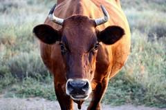 Crimean cow. (halina.reshetova) Tags: crimea cow animal horn eyes ears eyelashes nature steppe summer summertime august macro bright black green white rufous brown canon canoneos1000d 30082013
