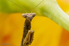 Preying (Tpai1) Tags: flower nature yellow canon insect prayingmantis gladiolus 100mmmacro canon7d