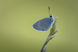 Cupido alcetas (Provençal Short-tailed Blue,  Zuidelijk staartblauwtje)