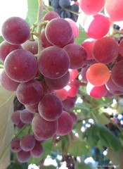 Catawba Grapes (Lissyanne (fighting pain daily)) Tags: red vines grapes grapevines redgrapes catawba