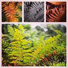Autumn Ferns (Jgunns91) Tags: autumn england orange color green fall nature leaves project nikon colours browns week ferns 52