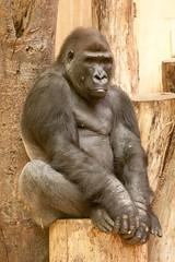2013-09-11-10h07m12.272P0056 (A.J. Haverkamp) Tags: germany zoo gorilla muenster mnster munster dierentuin westelijkelaaglandgorilla canonef70200mmf28lisusmlens pobarnhemthenetherlands nkwango dob22091996 httpwwwallwetterzoode