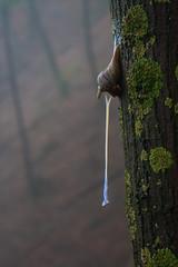 In Piena Attivit (Roveclimb) Tags: mist mountain fog nebbia lumaca montagna escargot beech crawler faggio lumache escursionismo lanzo intelvi porlezza claino faggeta osteno