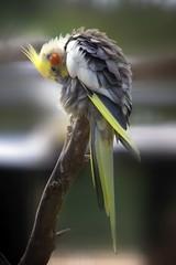 Pappagallo Mauriziano (Andrea Bargi) Tags: africa park wild parco bird animal fauna canon flickr mark andrea sigma uccelli ii 5d mauritius animali casela bargi 150500