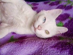 (I'll find my own bravado.) Tags: cat perfect blueeyes kitty greeneyes whitecat