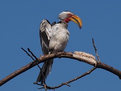 Hornbill winding up (Martial Mike) Tags: bush botswana hornbill yellowbilledhornbill francistown tockusflavirostris botswanabush tachilanaturereserve