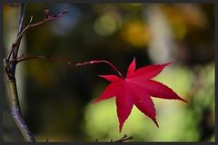 The survivor (Rob McC) Tags: autumn leaf maple bokah vpu1 vpu2