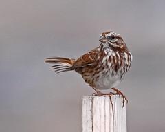 Song Sparrow (Keith Carlson) Tags: sparrows songsparrow melospizamelodia