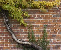 181 kent Godmersham (histogram_man) Tags: uk england leaves wall kent vine godmersham