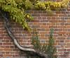 181 kent Godmersham (histogram_man) Tags: uk england leaves wall kent vine godmersham