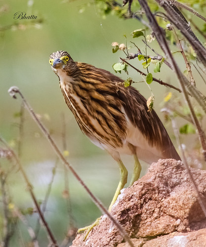 Indian Pond Heron or Paddybird (Ardeola grayii)