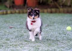 Halo revenge (Sheltie Dog World) Tags: dog dogs puppy puppies frost sheltie sheepdog halo shetlandsheepdog shetlandsheepdogpuppies sheltiedog shetlandphotos sheltieworld sheltieonline sheltiedream sheltieatplay shetlandpuppies sheltiephoto sheltiecolliepictures sheltiedogphotos shetlandsheepdogphotos shetlandpup shetlandsheltiesphotos shetlandsheltiecolliesheepdogpuppie shetlandsheltiecollietri sheltieuk