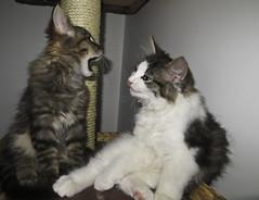 Bror & Vilda (PG63) Tags: cats kittens katter kattungar bror norsk skogskatt vilda vildabror