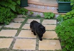 Ambling in the garden (Mink) Tags: black male cat garden persian franz kuwait kuwaiti zade marzouq