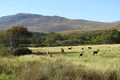 Grazing Deer, Isle of Jura - Fiona Herron