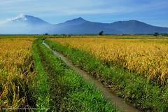 Bhumi Surgawi - DSCF8410 (franciscus nanang triana) Tags: street travel mountain field landscape photo foto rice paddy farm padi gunung pertanian sawah triana nanang franciscus menguning fujixe1
