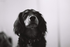 Franko (Kevin K. McLean) Tags: dog white black film sunshine canon hair puppy nose photography coast long kevin ae1 sausage ears dachshund placement haired dach ae mclean plcmnt