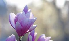 Light Through Her Petals (Lala Lands) Tags: morninglight dof bokeh springflowers saucermagnolia springlight nikkor105mmf28 floweingtrees nikond300s