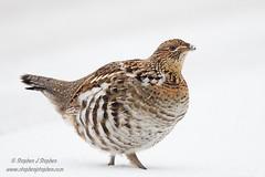 Female Ruffed Grouse (Stephen J Stephen) Tags: winter avian algonquinpark ruffedgrouse
