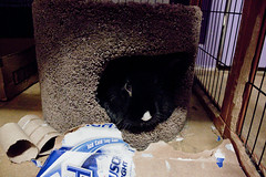 The hidey hut. (anditsashleyphotography) Tags: black rabbit bunny hut winston hidey bunnyrabbit blackrabbit rexrabbit rexbunny