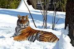 Tiger Mountain (Eddie C3) Tags: newyorkcity bronx tigers bronxzoo tigermountain flickrbigcats