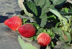 Strawberries (blsturman) Tags: strawberries
