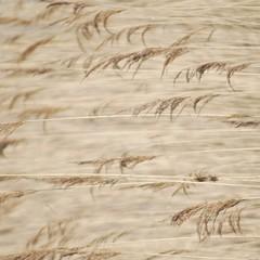 Ostwind (Scilla sinensis) Tags: direction riktning fotosondag fs140202