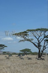 10072027 (wolfgangkaehler) Tags: africa people tourism landscape tanzania mammal nationalpark african wildlife tourist safari zebra serengeti eastafrica eastafrican tanzanian serengetinationalpark burchellszebra tanzaniaafrica burchellszebras serengetitanzania safarijeep safarivehicle burchellszebraequusquagga {vision}:{outdoor}=099 {vision}:{mountain}=0693 {vision}:{sky}=0756