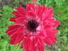 Primavera dintorno brilla nell'aria, e per li campi esulta... (mercedesmelis) Tags: red flower macro nature natura fiori flowersarebeautiful excellentsflowers mimamorflowers flickrflorescloseupmacros photographynofilter