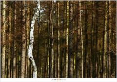 Een eenzame berk (5D322831) (nandOOnline) Tags: zwartwit nederland natuur boom bos wit berk landschap strabrechtseheide lariks naaldbos heeze nbrabant strabrecht
