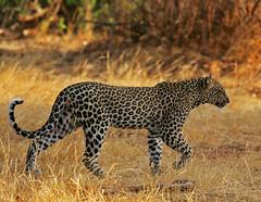A to B with Class (Rainbirder) Tags: kenya samburu africanleopard pantherapardus rainbirder