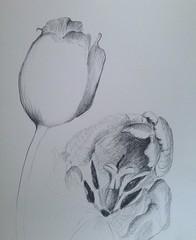 Tulpen (Ellen Ribbe) Tags: flower art pencil paper sketch drawing kunst tulip papier bleistift tulpen zeichnung
