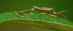 Wanzen - Rendezvous (Jger & Sammler) Tags: animal germany deutschland tiere nikon insekt tier wanze insekten wanzen d3100