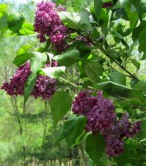 DEEP PURPLE LILAC..... (Daisy.Sue) Tags: flowers lilac shrub deeppurple syringavulgaris putnamcounty carmelny spring2014 uncommonlilaccolor