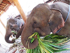 Elephant Eating Leaves in Laos (shaire productions) Tags: travel food elephant green tourism nature beauty leaves animal landscape outdoors photo asia southeastasia tour natural feeding eating wildlife picture eat photograph vegetation trunk greenery traveling laos creature luangprabang snout elephantriding ridingelephants