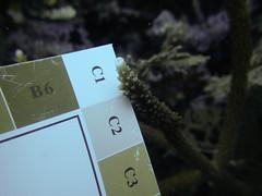GCMP_sample_photo_554 (r.mcminds) Tags: acropora acroporacervicornis anthozoan bocasdeltoro cnidaria complex gcmp gcmpsample hexacorallian idbyjoepollock metazoan scleractinian vi e26acrcerv120140918 caribbean crawlcay panama photobyjoepollock