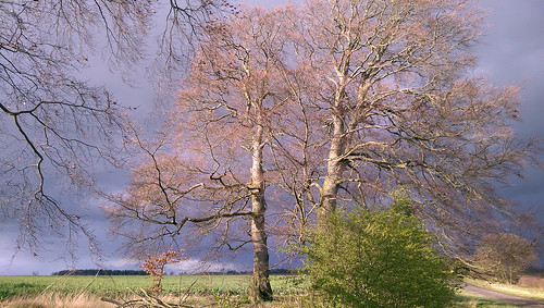 Beech trees awaiting an April shower,the Drift near Hungerton Lincolnshire,April 7th 2016.