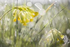Frühlingswiese... (angelika.kart) Tags: wiese morgentau sonne himmelschlüssel pflanzen blumen blüten gräser gelb grün bokeh