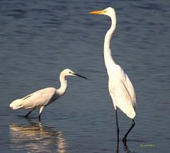 Tall vs Short (binoy_v_k) Tags: egrets greategret littleegret whitebirds birds birdsofindia commonbirds canon 700d nature shorebirds uranbirds birdwatching